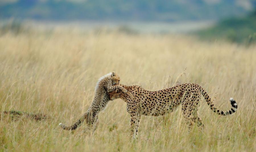 Mama tigrė pievoje su vaiku